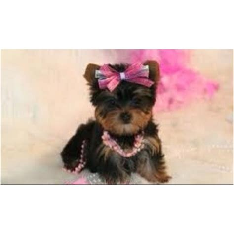 yorkies babies teacup yorkie babies photography
