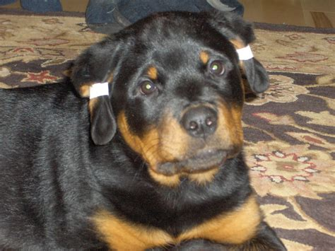 rottweiler ears rottweiler that dont shed breeds picture