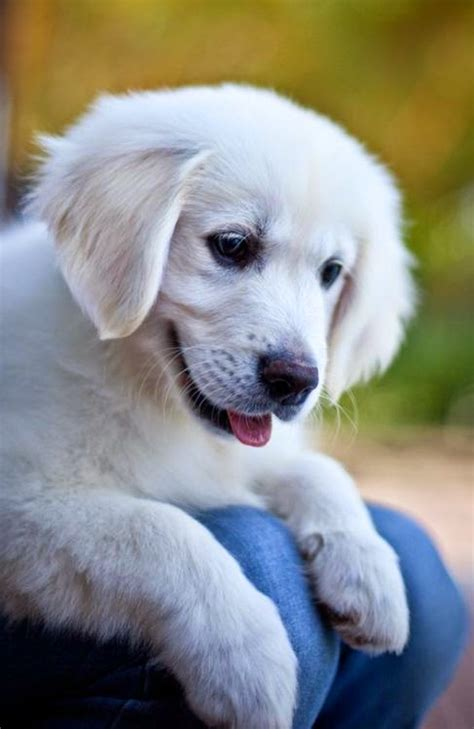 affectionate dogs puppy and 5 most affectionate breeds