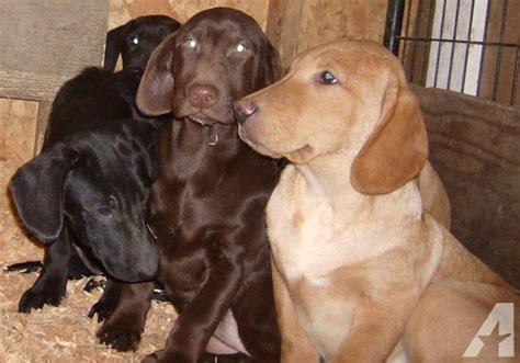 mini lab puppies mini labrador retriever puppies available now 3 left for sale in belfair