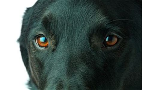 eye diseases in dogs eye problems