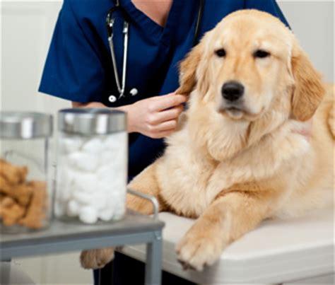 health problems in golden retrievers golden retriever study looks for links between environment