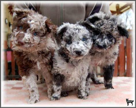 mudi puppies merle mudi puppies