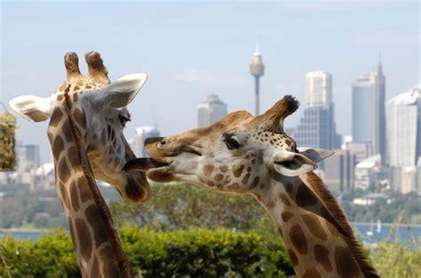 Sydney Australia Search Taronga Zoo Sydney Australia Highlights Experience Sydney Australia