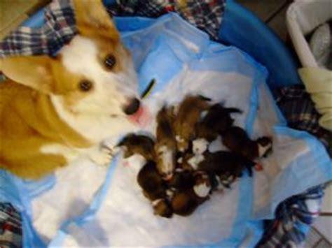 corgi puppies kentucky pembroke corgi puppies for sale