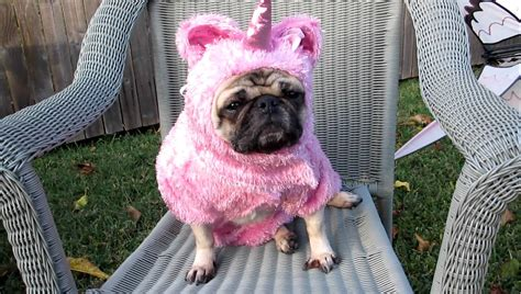 pug in unicorn costume omg it s a unicorn pug by say omg