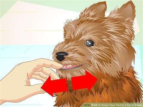 should i get a yorkie how to keep your yorkie s teeth clean with pictures wikihow