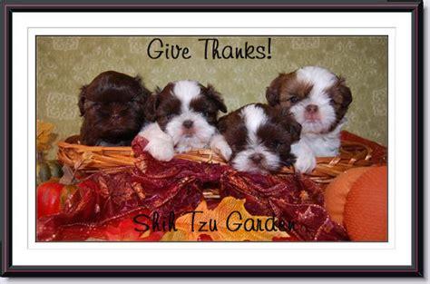 thanksgiving shih tzu past puppies