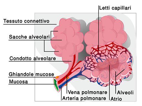 vasi polmonari alveolo polmonare