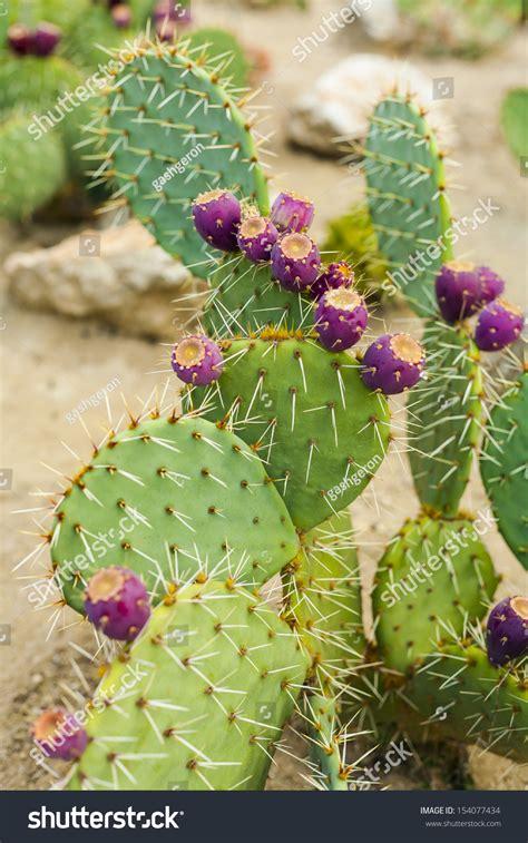 image prickly pear cactus fruit download prickly pear cactus fruit purple color stock photo