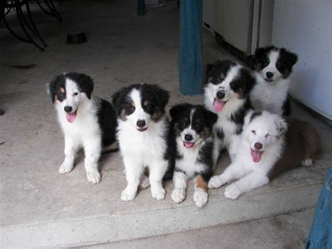 Does Kaopectate Turn Stool Black by Can Australian Shepherds Black White Australian Shepherd