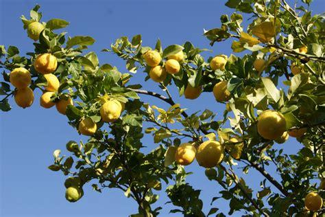 fruit d afrique l arbre amarula pour la liqueur du m 234 me nom afrique du