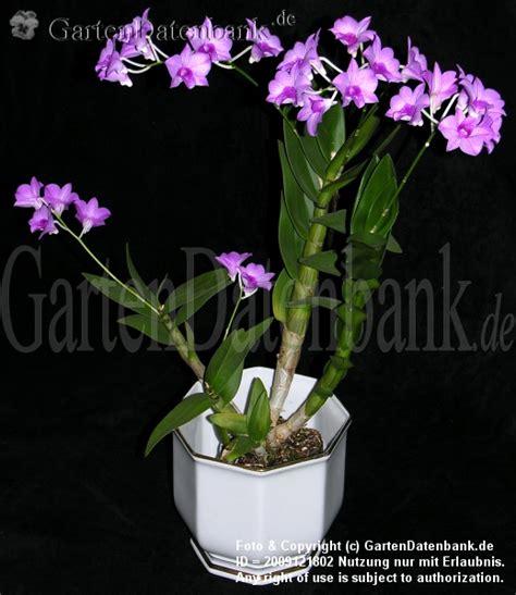 Zimmerorchideen Pflege by Dendrobium Orchideen Pflege Als Zimmerpflanze