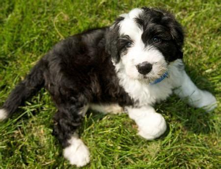 sheep doodle puppy best 25 the sheepdogs ideas on