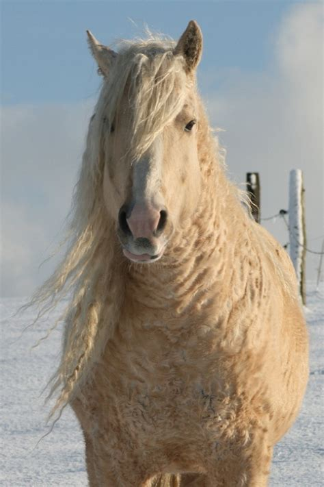 horse shoo for african american hair curly horses are the horse s answer to the teddy bear photos