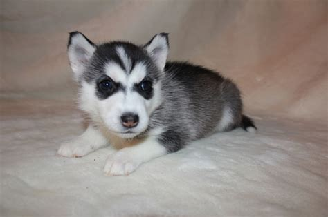 husky and pomeranian mix for sale view ad alaskan husky pomeranian mix puppy for sale maryland severn usa