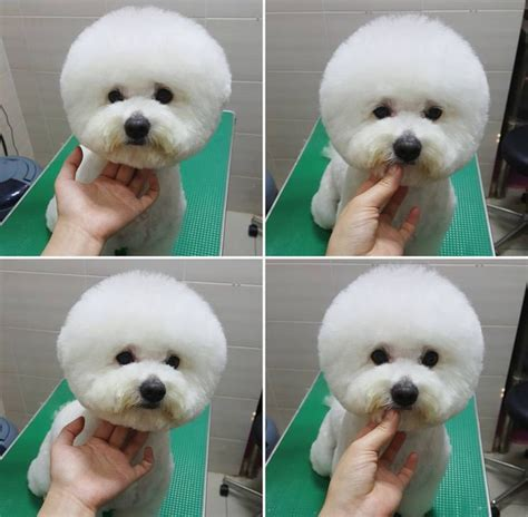 bichon poo haircuts 16 best bichon grooming hairstyles images on pinterest