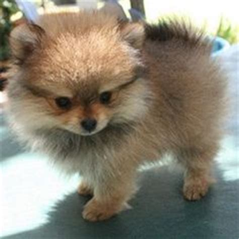 how much is a baby pomeranian 1000 ideas about baby pomeranian on pomeranians black pomeranian and