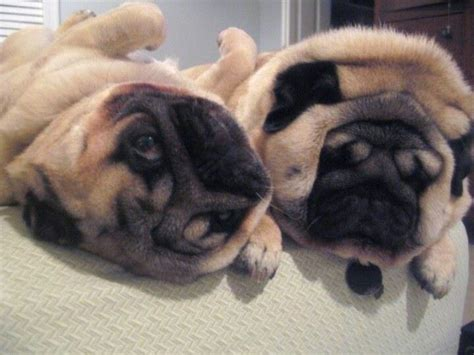 overweight pugs pugs pug