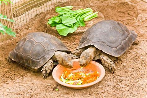 practical tips    feed  pet   turtles eat