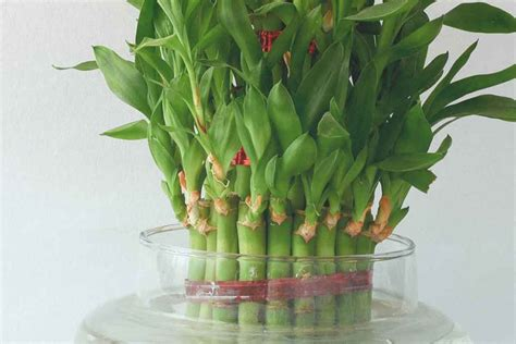 vastu tips  attract positive energy  bamboo plant