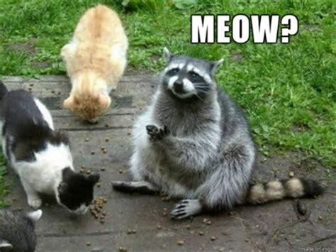 Funny Raccoon Meme - funny animal pictures of the day 20 pics funny animals