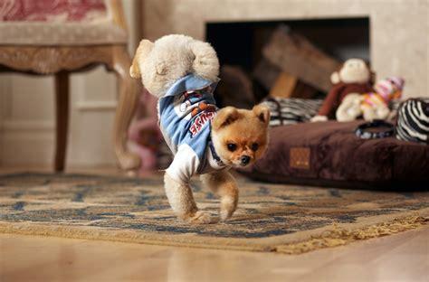are pomeranians smart pomeranian temperament pets world