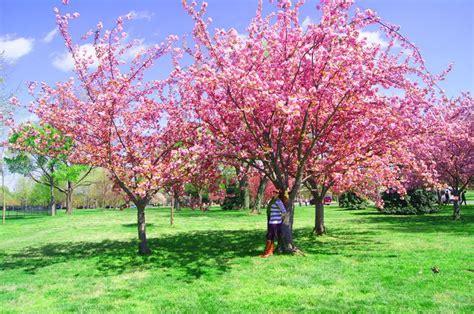 cherry tree national 55 best images about national cherry blossom festival washington d c on washington