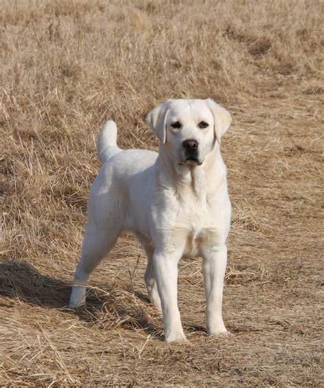 white polar lab puppies akc white labrador retriever puppies snow white polar breeds picture