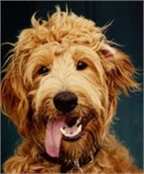 goldendoodle puppy ranch contact us