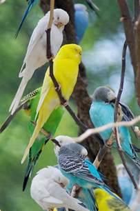 parakeet colors parakeet colors inspirational animals photos