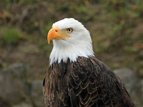 Nj S Bald Eagle Population Showing Signs Of Recovery Bald Eagle Back