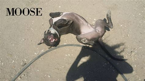moose pit great dane pit bull mix moose mid america bully breed