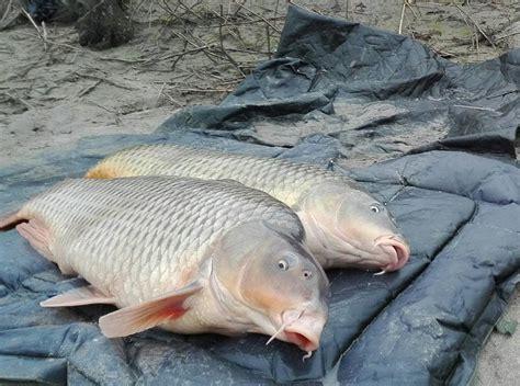 come cucinare il pesce siluro pesce siluro da 2 72 metri pescato nel po blitz quotidiano