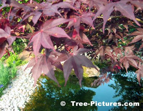 burgundy red leaves of the japanese maple