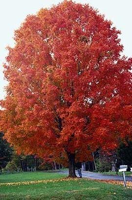 2 maple tree sugar maple the tree center