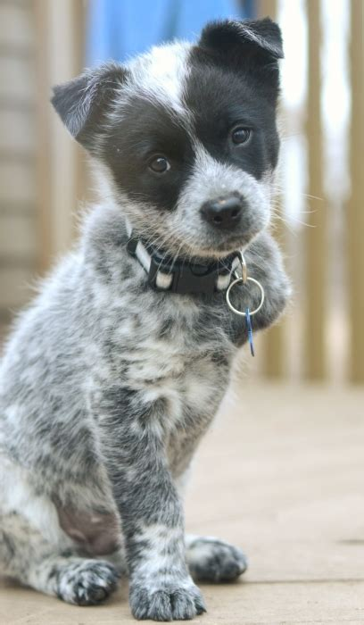 australian cattle rescue blue heeler rescue in tennessee breeds picture