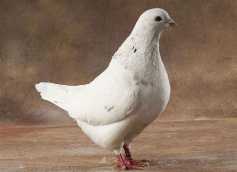 comment cuisiner des pigeons vari 233 t 233 s de pigeon 224 cuisiner