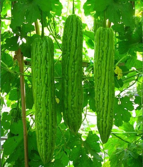 Benih Kacang Panjang Unggulan paria asoka benih pertiwi