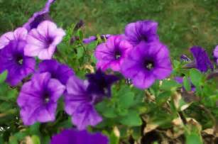 what s your favourite type of purple flower moopy