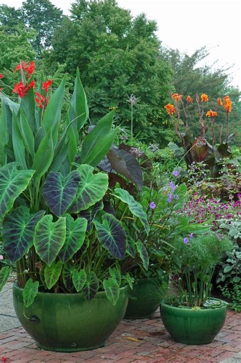 papyrus elephant ears and cannas l longwood gardens c o