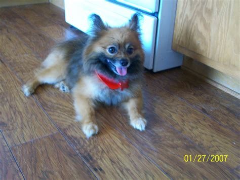 pomeranian mixed with german shepherd german shepherd pomeranian mix puppies