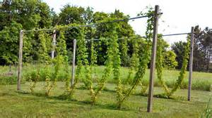 Hops Trellis Fluke Brewing Minnesota Homebrewing Hop Growing Diy