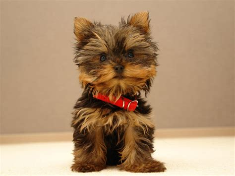 wallpapers shop cute puppy pictures puppy