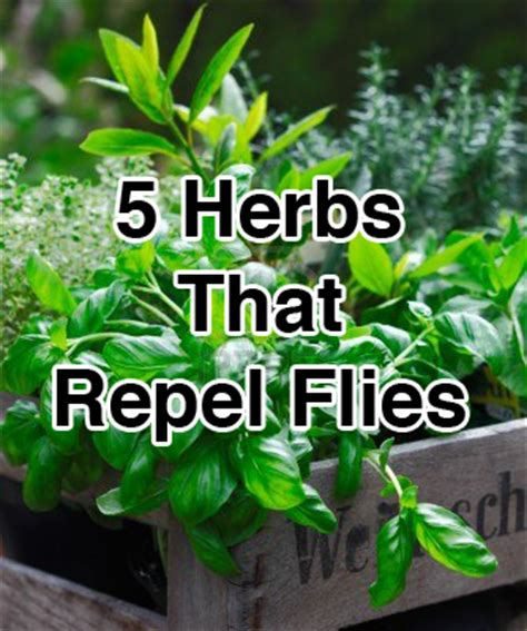 5 herbs that naturally repel flies herbs and oils hub
