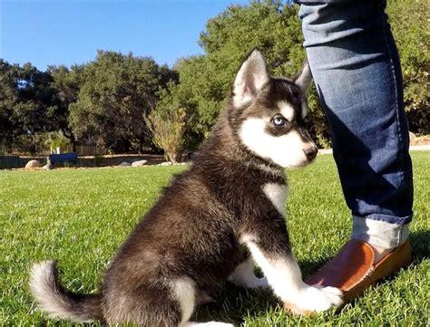 pomsky puppies for sale ny best 25 pomsky puppies ideas on pomsky pomeranian husky puppies and