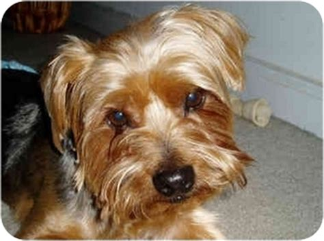 yorkie silky terrier mix yorkie silky terrier breeds picture