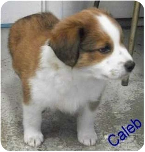 st bernard australian shepherd mix puppies for sale bred akc bernard coat images frompo