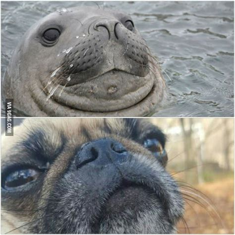 difference between and pugs can you tell the difference between a pug and a seal barkpost