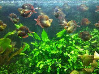 Pakan Ikan Louhan Agar Merah apotik ikan